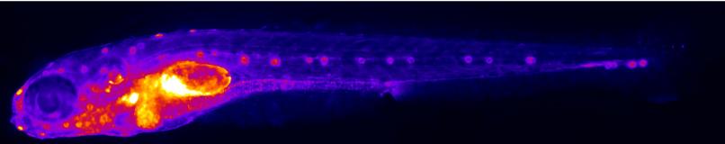 CONVD NF-kB EGFP fish